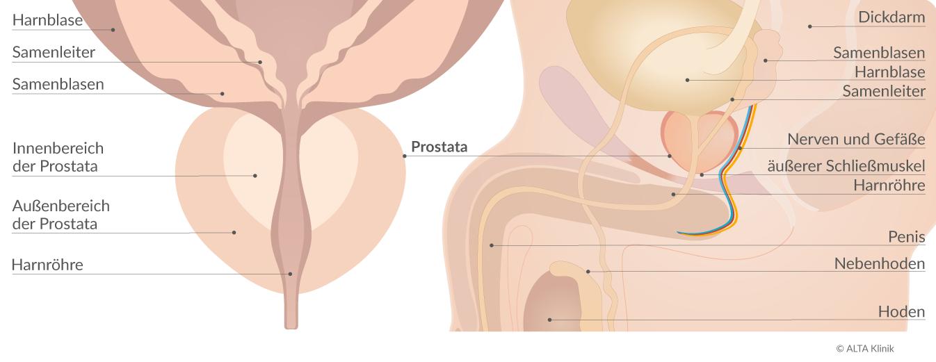 prostata anatomie zonen